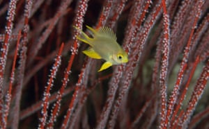 Indonesian coral: Golden Damselfish