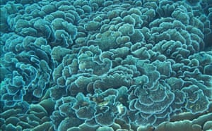 Indonesian coral: Pristine Coral Reef and Coral Formations