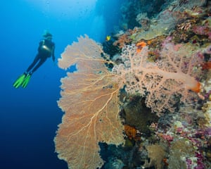 Indonesian coral: Scuba Diver and a Healthy Gorgonian