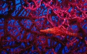 Indonesian coral: Longnose Hawkfish on Giant Gorgonian sea fan,Bali