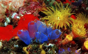 Indonesian coral: Blue Sea Squirt Tunicates and Yellow Cave Coral