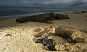 A female leatherback digs into the beach to lay her eggs, Gabon Republic