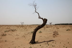 Minqin China: a tree dies in the Tengger desert