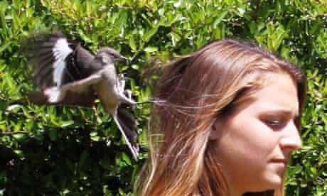 A mockingbird dive-bombs a woman