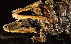 Grube Messel pit: Alligator Fossil Reflected in Mirror