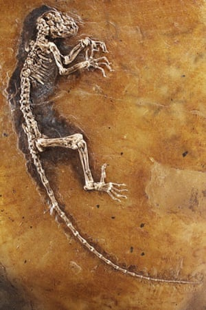 Ida missing link fossil: Ida, one of the most complete primate fossils ever found.