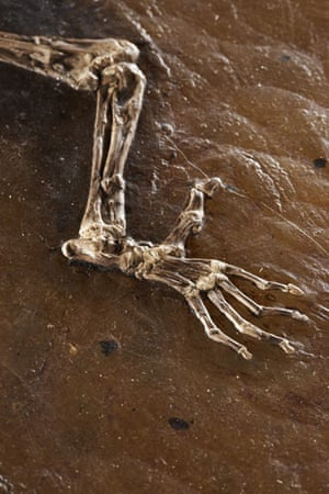 Ida missing link fossil: The back claws on Ida one of the most complete primate fossils ever found