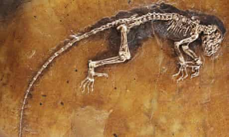 Ida the missing link primate fossil - whole skeleton