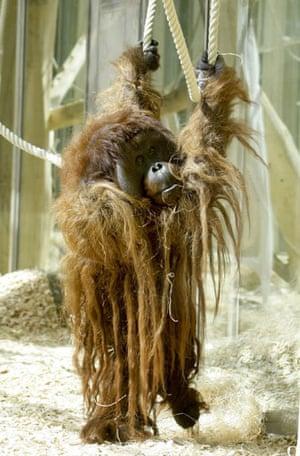 Week in Wildlife: Orang-utan Vladimir at Schoenbrunn Zoo in Vienna