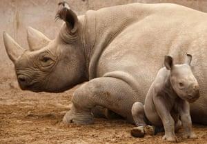 Week in Wildlife: A newly born baby Eastern Black Rhinoceros calf  in Chester