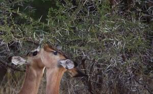 Week in Wildlife: Pair of Steenbocks feed from tree in Kruger National Park, South Africa
