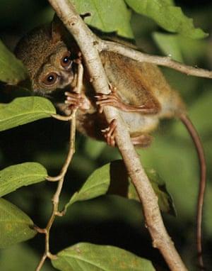 Week in Wildlife: Pygmy Tarsier is seen in Tangkoko forest of Indonesia's north Sulawesi