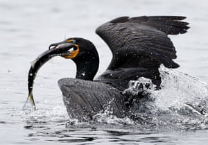 Week in Wildlife: A double-crested cormorant surfaces after catching an alewife