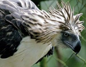 Week in Wildlife: Philippine Eagle Kalinawan is seen inside a cage