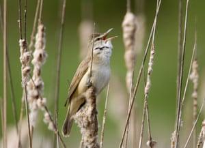 Week in wildlife: Reed Warbler at a lake near village of Zhdanovichi