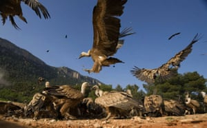 Week in wildlife: Hundreds of vultures noisily feast on the dead rabbits