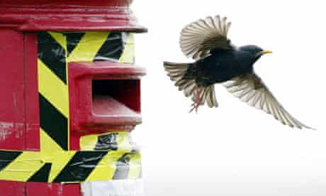 A family of Starlings in a post box