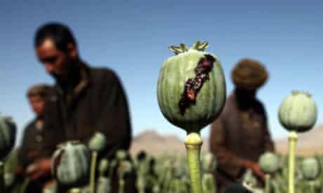 Afghan men harvest opium in a poppy field