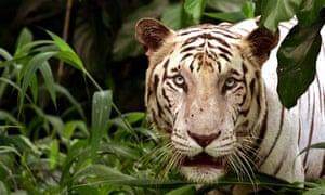 A white tiger in captivity.