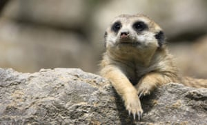 week in wildlife: A meerkat lies in the sun in a  zoo near Frankfurt