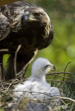 week in wildlife: A golden eagle with its chick in a nest in Belarus