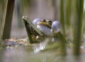 week in wildlife: A tree frog croaks in a lake near Zhdanovichi, Belarus