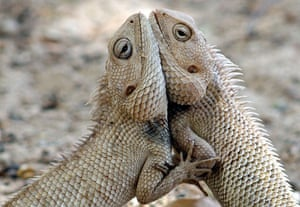 week in wildlife: A pair of chameleons fight inside a park in India