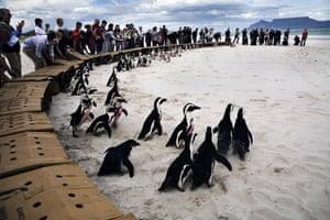 week in wildlife: Penguins walk towards the ocean after being released in Cape Town