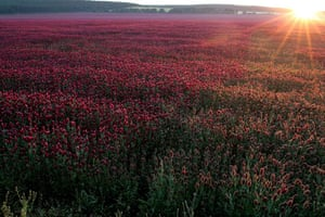 week in wildlife: Elongated spike-blooms of crimson clover in Hungary