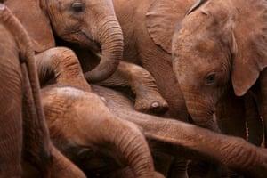 week in wildlife: Orphaned elephants at the David Sheldrick Wildlife Trust in Nairobi