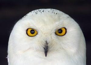 week in wildlife: Snowy Owl is seen at Olemse zoo in Olmen