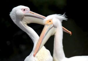 week in wildlife: London,Pelicans at a park