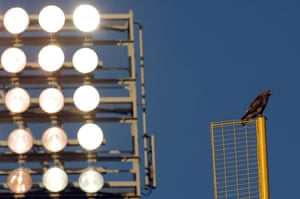 week in wildlife: A hawk watches a baseball game in boston
