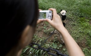 pandas: Giant panda cubs at the Bifengxia Panda breeding centre in Sichuan