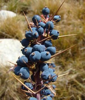 Trees Red List: Endangered trees in Kyrgystan: Berberis kaschgarica