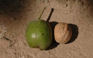 Trees Red List: Endangered trees in Kyrgystan:, walnut