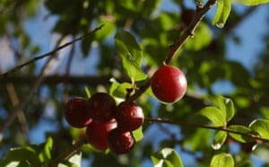 Trees Red List: Endangered trees in Kyrgystan: wild cherry