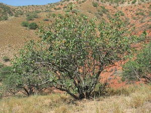 Trees Red List: Endangered trees in Kyrgystan: Pistacia vera - a pistachio nut tree