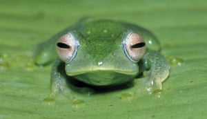 "week in wildlife: A frog of the new species ""boophis aff elenae"""