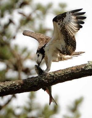 week in wildlife:  An osprey with with a fish in its claws sit in a tree
