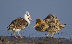 week in wildlife: Two Ruffs court at a mating ground at a bank of the Pripyat river