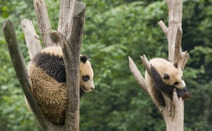 week in wildlife: Giant panda cubs at the Bifengxia Panda breeding centre in Sichuan