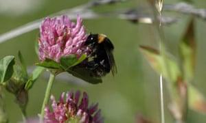 A queen short-haired bumblebee