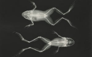 Centenary Icons: X-ray of frogs