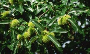 Fruit of Sweet Chestnut
