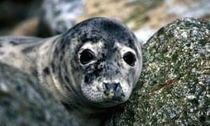 Seal pup Pembrokeshire