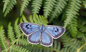 Large Blue Butterfly recovery