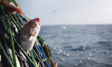 Commercial Fishing: A Haddock caught in the nets of the Scottish trawler