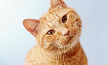Ginger pet cat