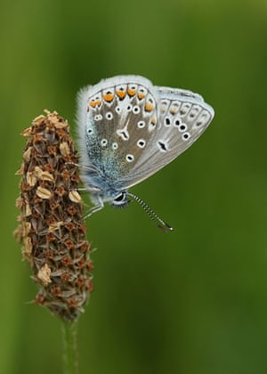 Butterflies: Common Blue butterfly roosting